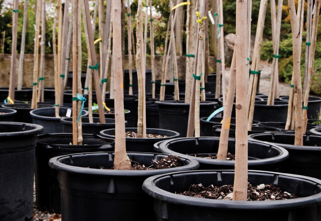 Abstract-style shot of Smoketrees in pots at a nursery. Focus on foremost tree.